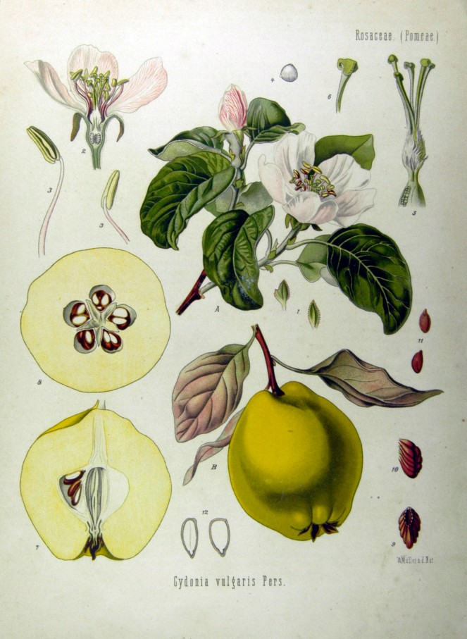 Cydonia_oblonga_-_Köhler–s_Medizinal-Pflanzen-049
