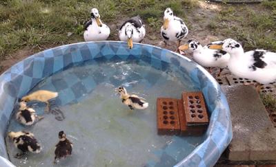 ancona-ducks-ducklings-kiddie-pool-tim-jane-400